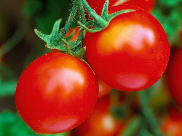 healthy tomato plant