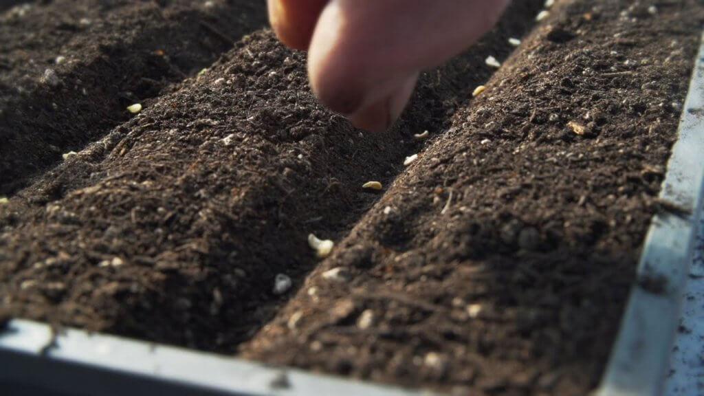 sow tomato seeds