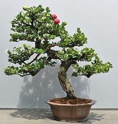 Natal Plum Bonsai